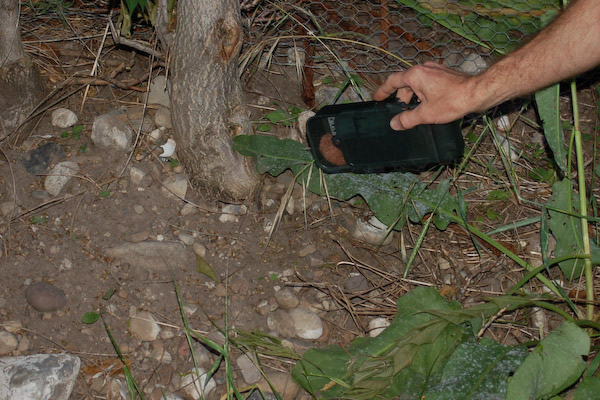 how to catch a field mouse in your home
